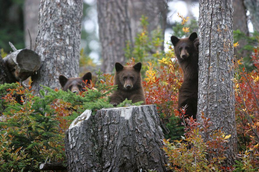 Bear cubs in Banff National Park.