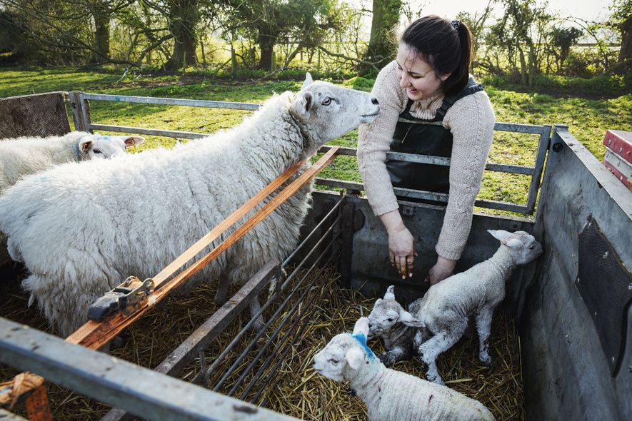 Working holiday with ewes and newborn lambs, UK