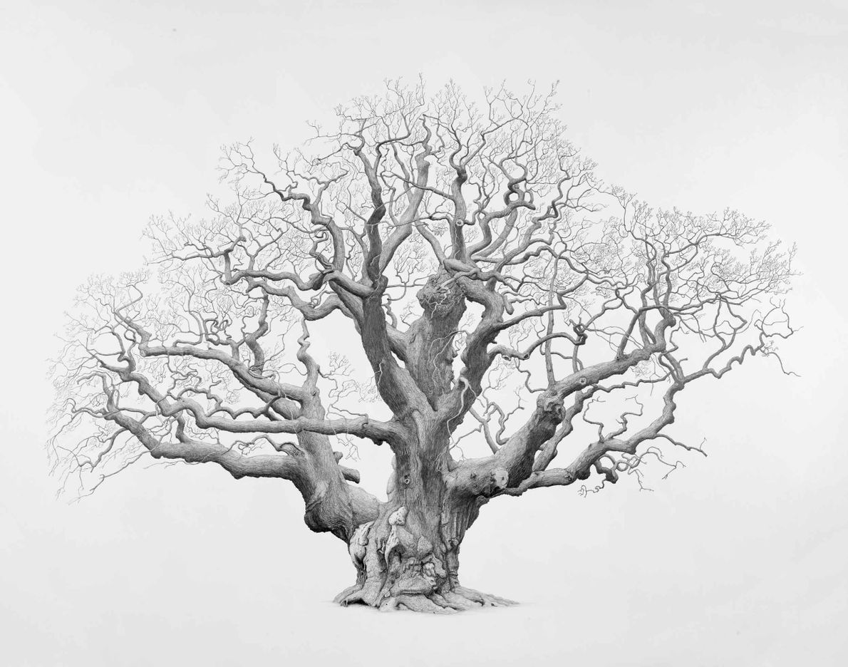Major Oak, Sherwood Forest, Nottinghamshire. This famous oak is indelibly associated with Robin Hood, given its ...