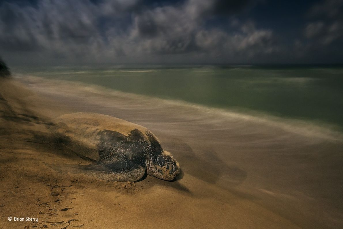 Leatherback turtles are the largest, deepest-diving and widest- ranging sea turtles. Their leathery shells average 1.6 ...