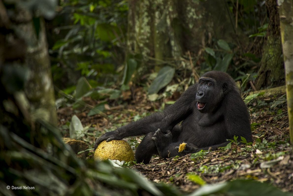Caco is a western lowland gorilla in the forest of Odzala National Park in the Republic ...