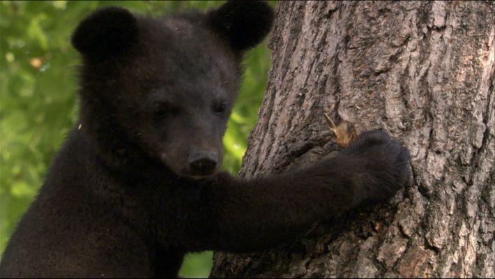 The Russian Black bear