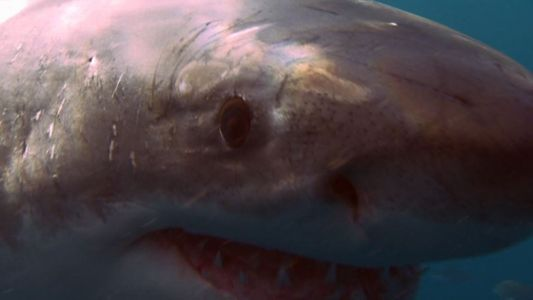 Watch a great white shark hunting seals