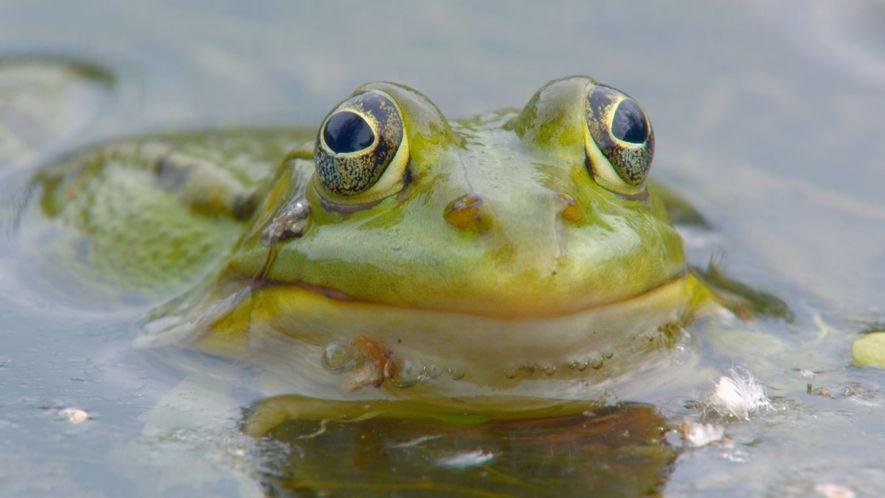 The big frog