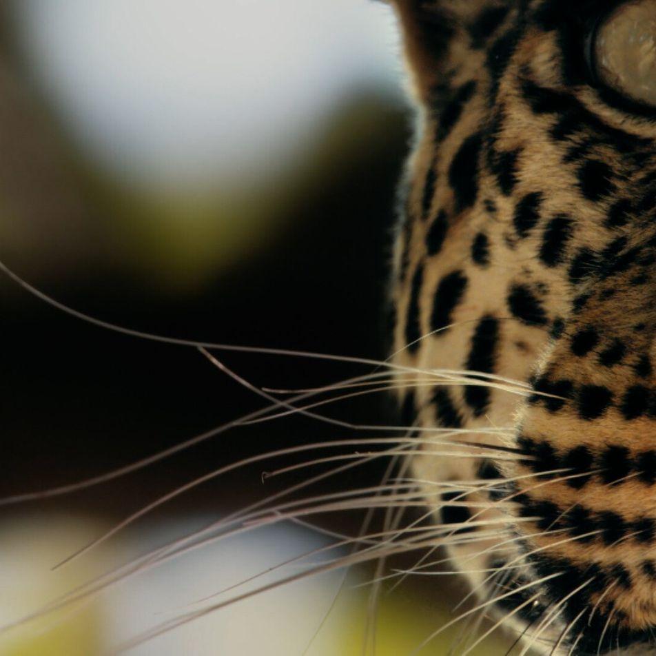 The amazing leopard's leap