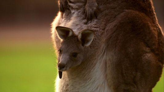 The incredible birth of a baby Kangaroo