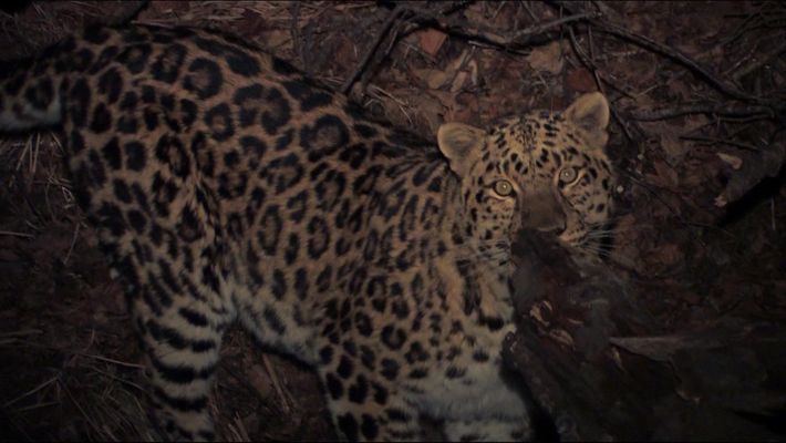 The Extremely Rare Amur Leopard