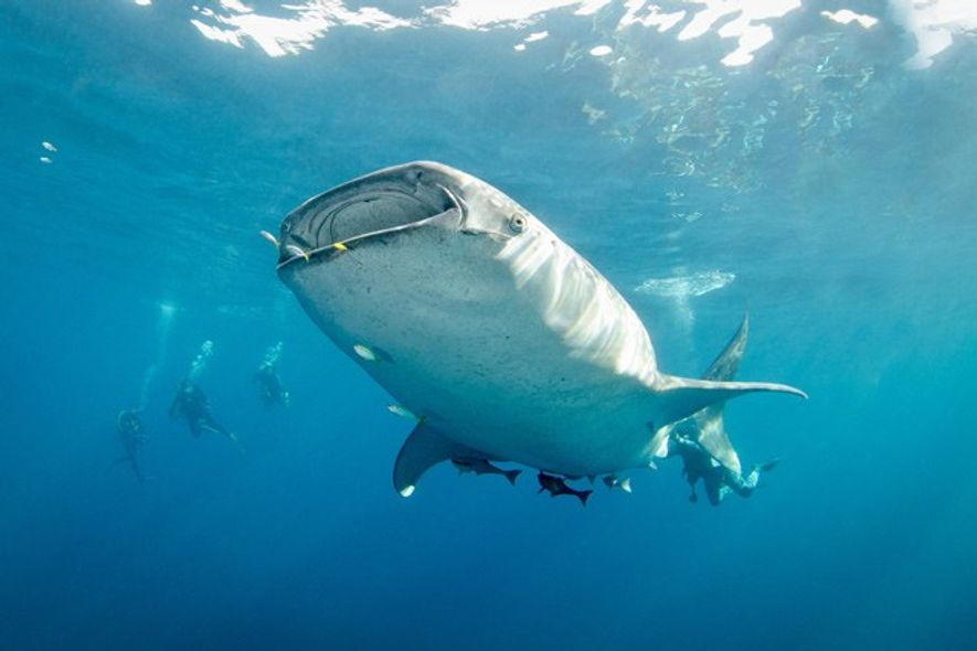 Diving with Whale Sharks. Image: Malcolm Nobbs/Regaldive