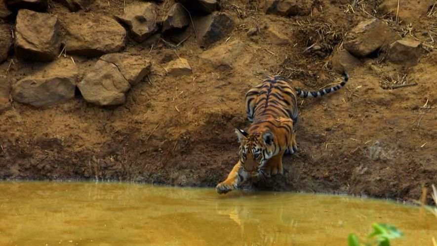 Four tiger cubs playing in the water