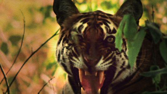 Tiger vs. Monkeys