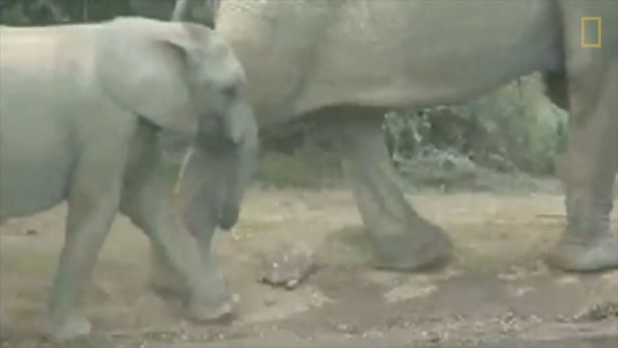 Tortoise Narrowly Avoids Being Trampled By Elephants