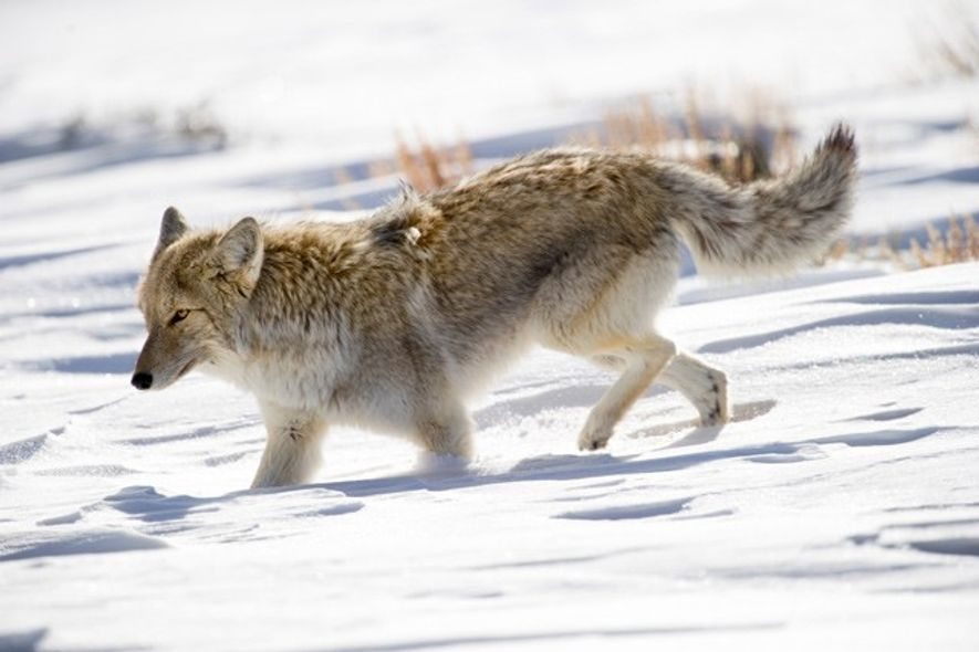 Coyote, Yellowstone National Park. Image: Getty