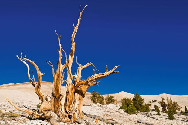 Bristlecone pine, Patriarch Grove, Ancient Bristlecone Pine Forest, White Mountains.
