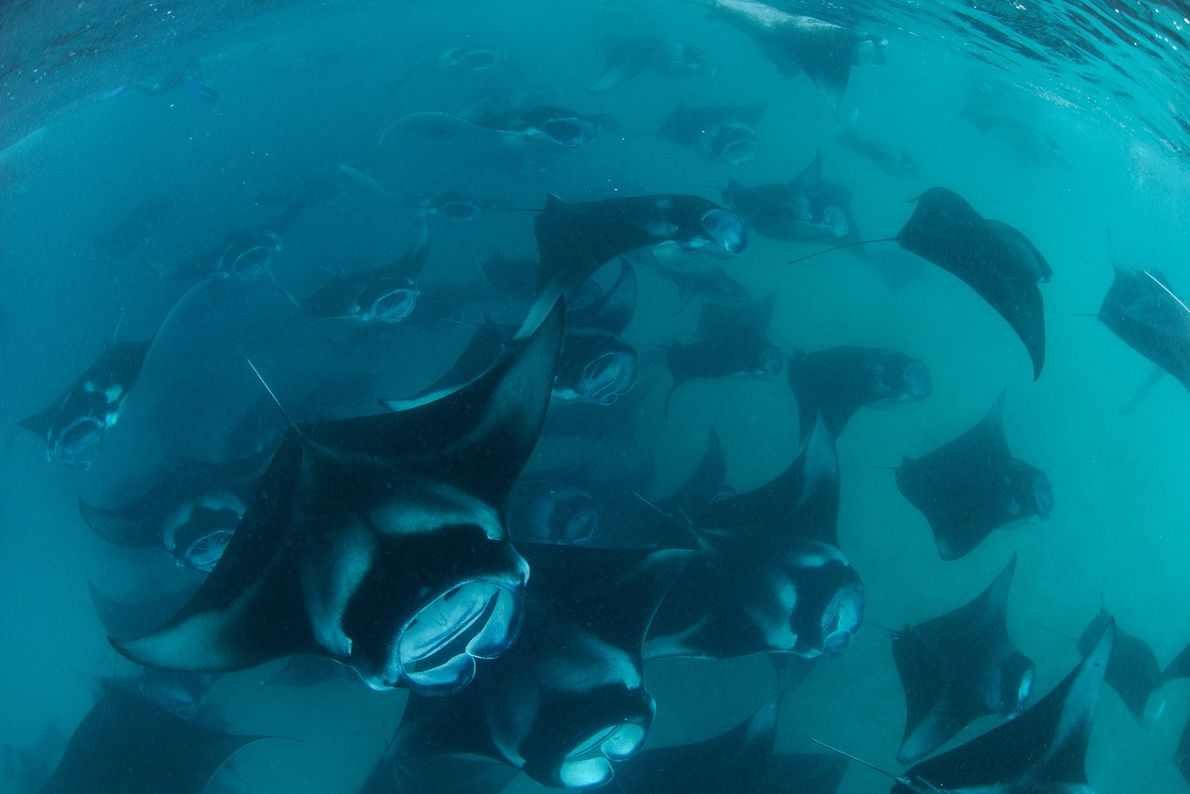 Every year the Maldives southwest monsoon attracts some 800 reef manta rays to feed in the ...