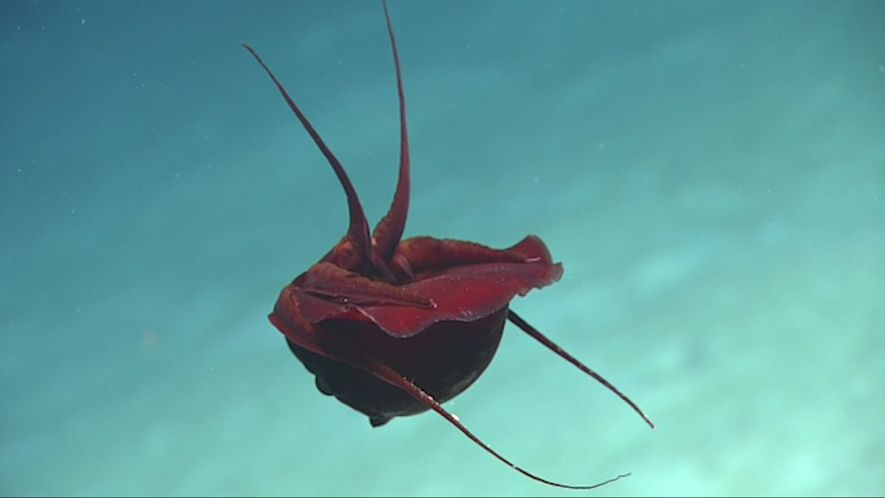 Mysterious Deep-Sea Squid Spotted on Live Cam in the Gulf of Mexico