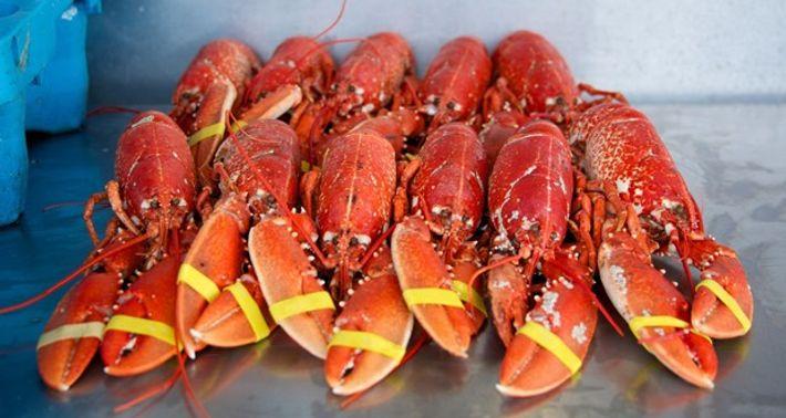 Lobster in Brecks, Suffolk