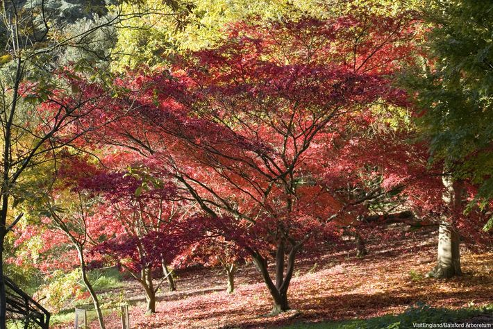 There are over 1,300 trees, shrubs and bamboo at Batsford Arboretum, so autumn is guaranteed to ...