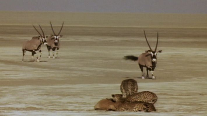 A coalition of cheetah brothers attempts to hunt oryx.