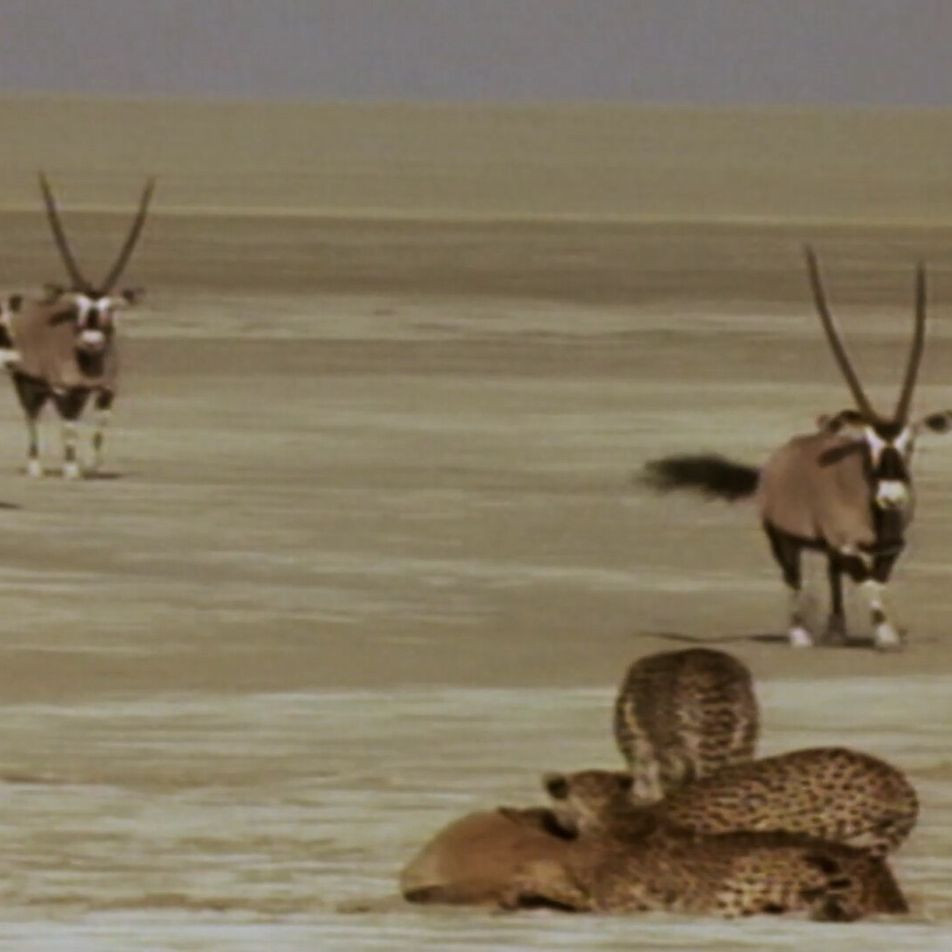 A coalition of cheetah brothers attempts to hunt oryx