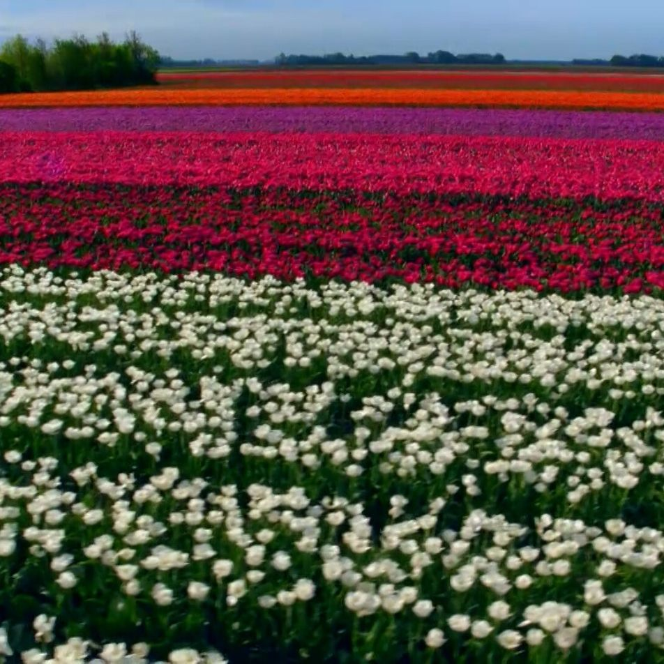 Spring tulip fields from above
