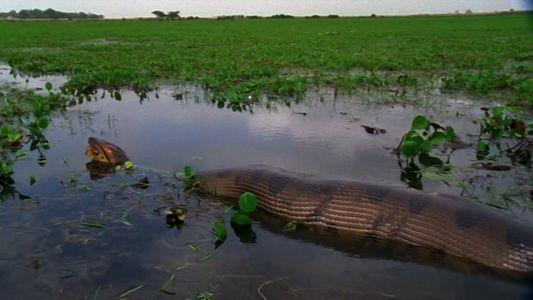 Watch an anaconda devour a huge meal