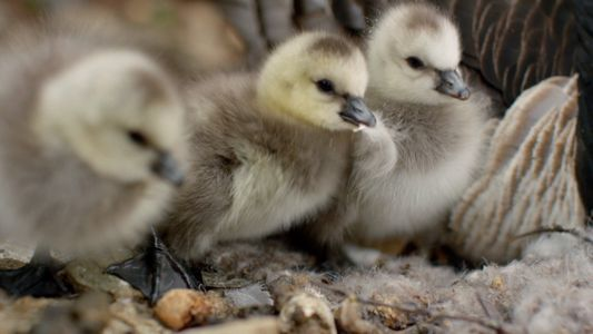 First steps for a barnacle goose chick