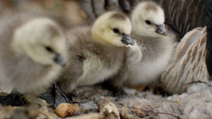 First steps for a goose chick