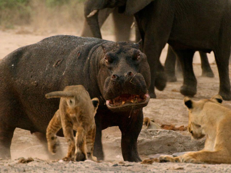 Hippo vs. Lions