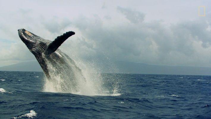Humpback whales make a 'heat run'.
