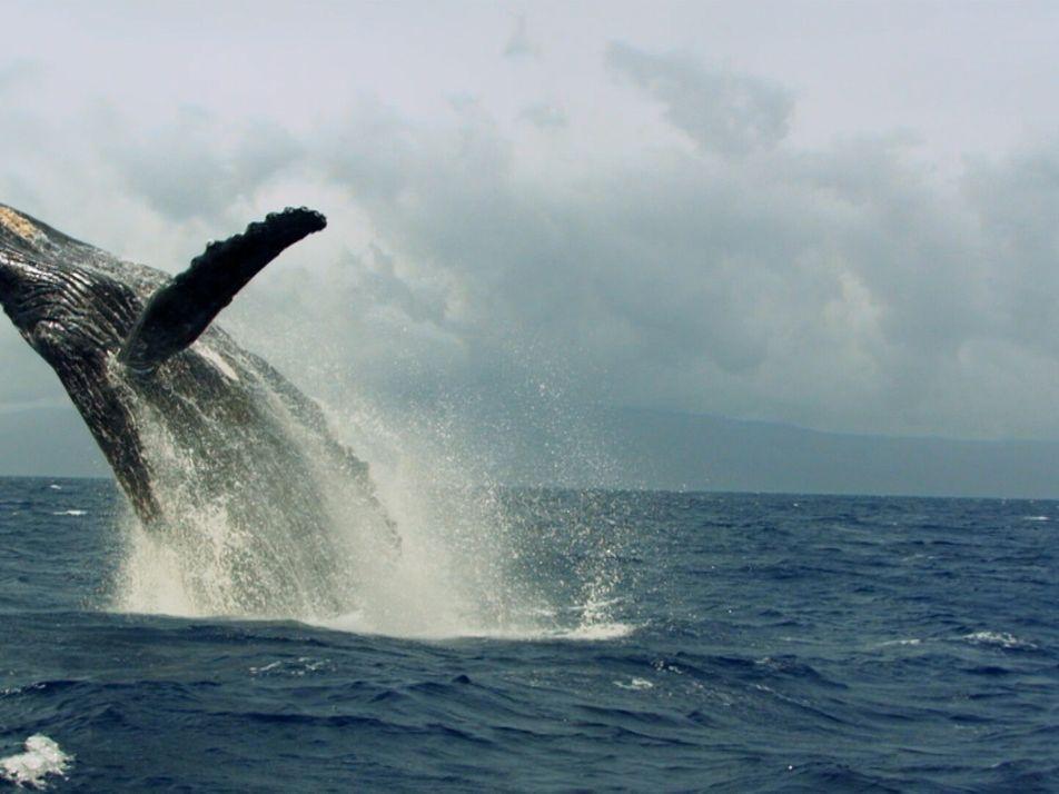 Humpback whales make a 'heat run'