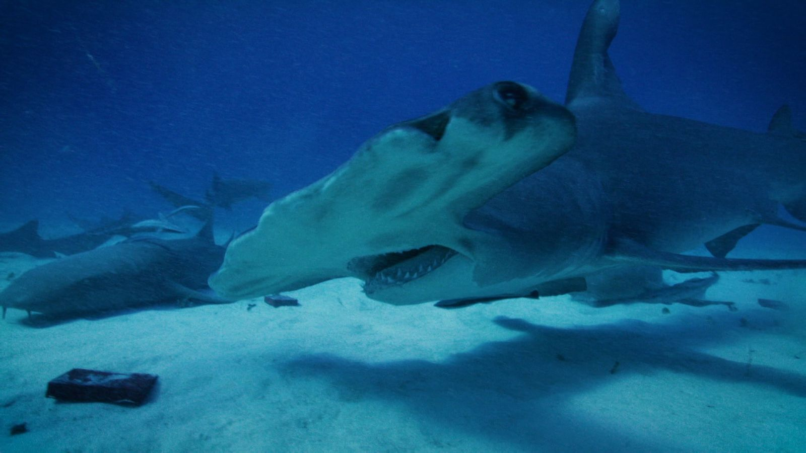 Can Sharks Sense Volcanic Magnetism? | Volcano Sharks