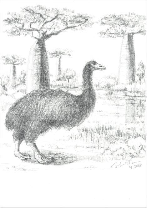 Huge and feathered, the 'Vorombe titan' or elephant bird, as imagined by an artist.