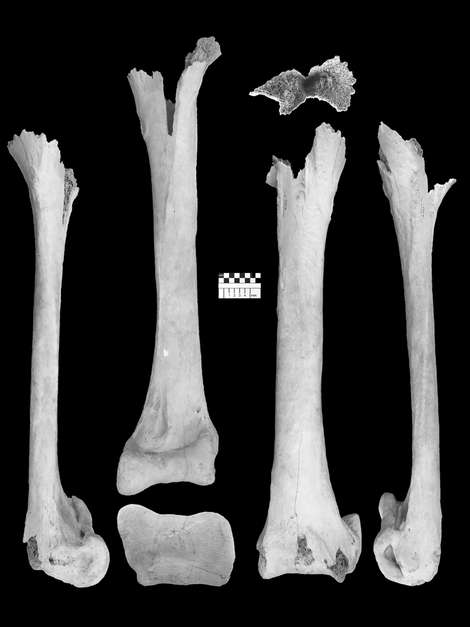 The length of the bones give a clue to the enormous size of the elephant bird, ...