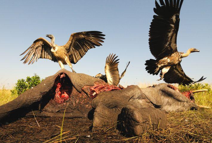 Vultures feeding on an elephant carcass