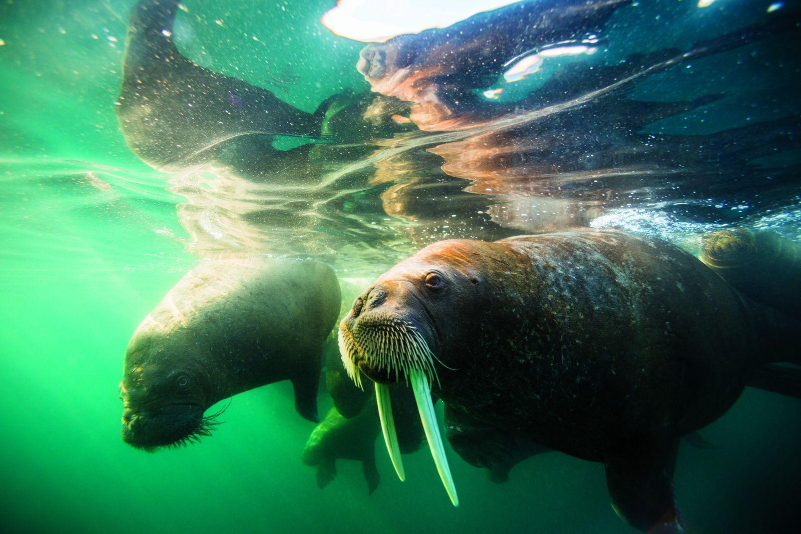 In Franz Josef Land, walruses swim in waters that are now protected after the archipelago was ...
