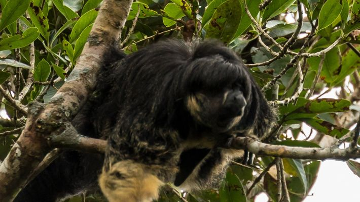 Watch Mysterious amazon animal seen for first time in 80 years
