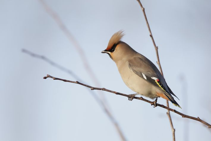 A waxwing, 'Bombycilla garrulus', photographed in Bedfordshire.