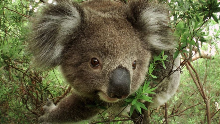When we almost extinct the Koalas