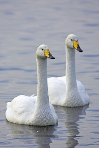 A pair of whooper swans, 'Cygnus cygnus', swimming at Martin Mere Wildfowl and Wetlands Trust in ...