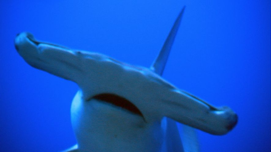 Why Hammerhead Sharks Have Such Strange Shaped Heads
