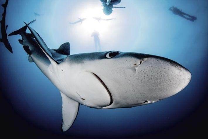 Blue shark. Image: Morne Hardenberg
