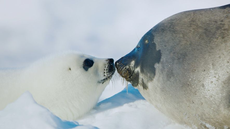 For a harp seal pup, survival depends on its first ten days
