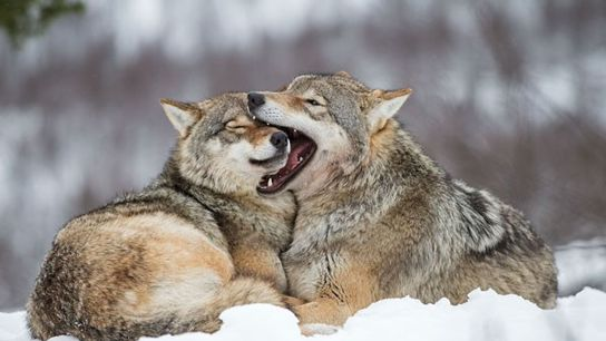 Wolves at Polar Park