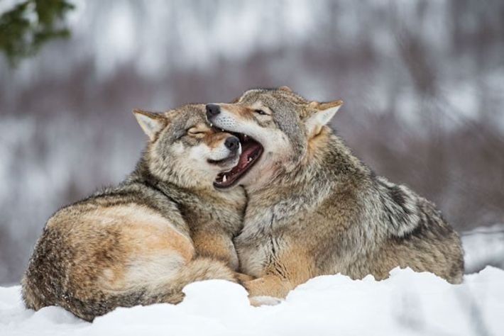 Wolves at Polar Park