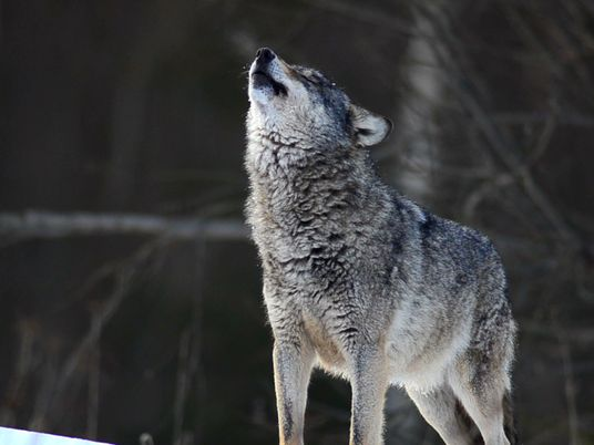 Wolves 101