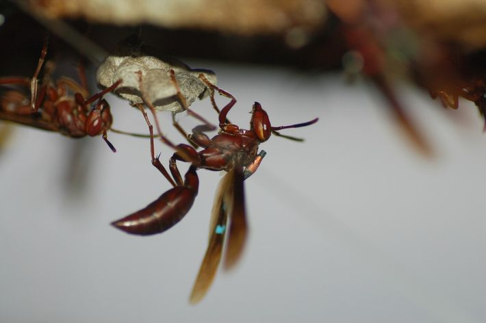 Paper wasp with transmitter attached