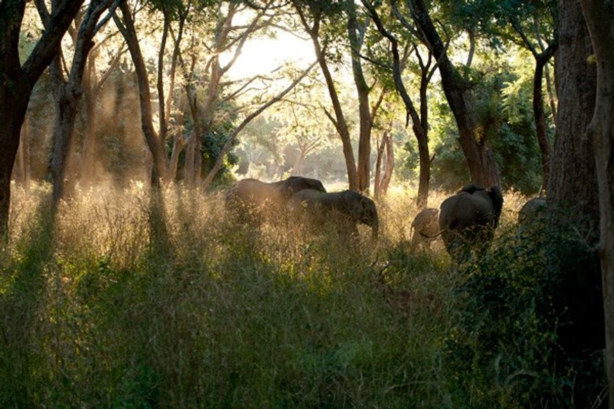 Herd of elephants in woodland, Lower Zambezi National Park. Image: Emma Gregg