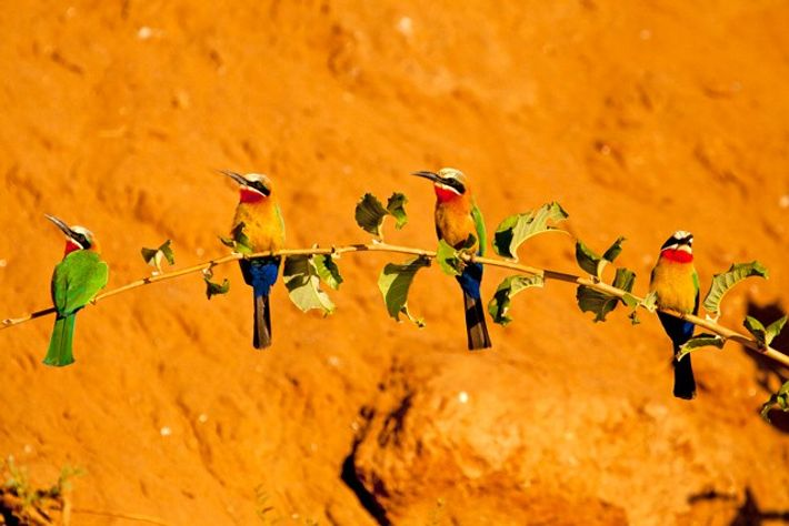Colony of white-fronted bee-eaters on the bank of the Chongwe River, Lower Zambezi National Park.