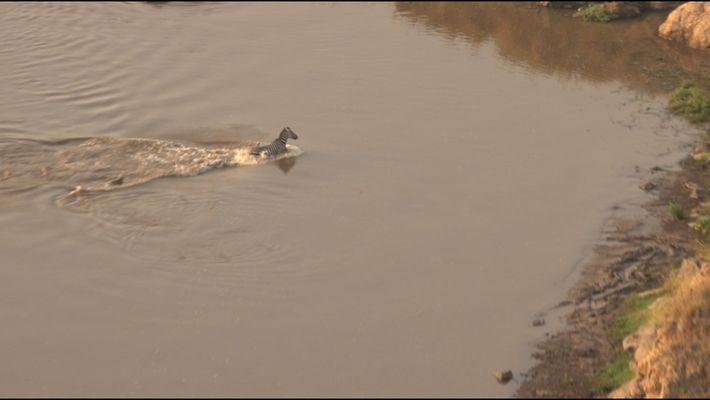 Epic Video: Zebra Narrowly Escapes Crocodile, Runs Into Lions