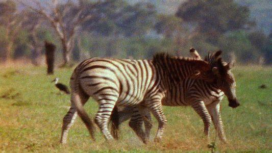 Zebra vs. Zebra